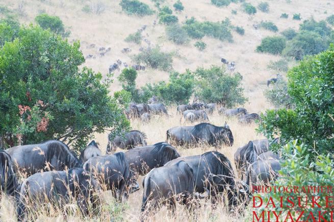マサイマラ国立公園のヌーの大群
