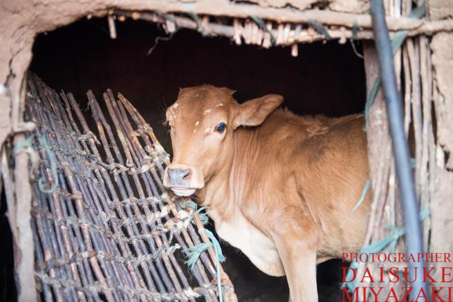 マサイ族の家の中に入る仔牛