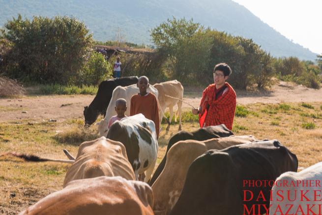 マサイ村で牛の放牧を手伝う