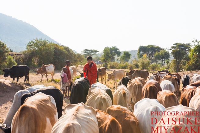 マサイ族の村で牛を放牧させる私