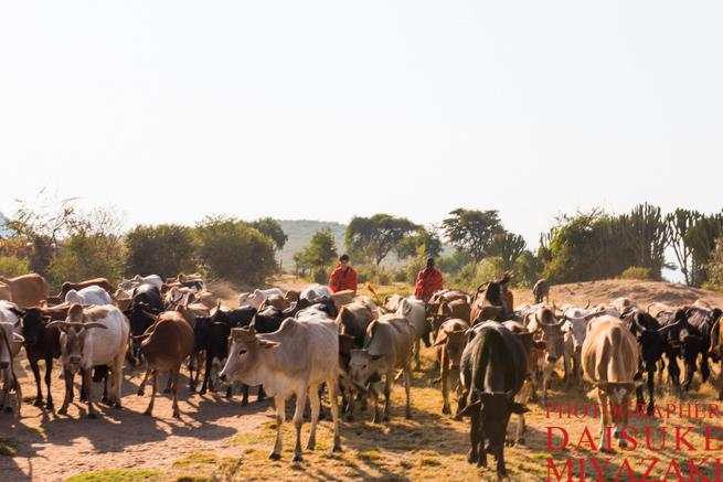 マサイ族の牛