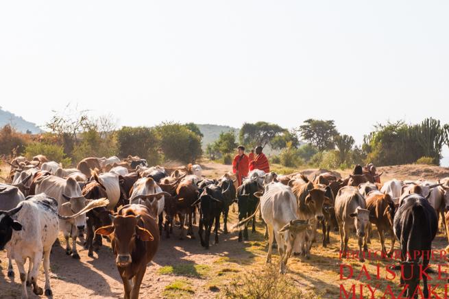 マサイ族が飼育する牛