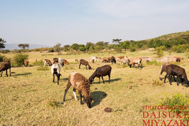 マサイ族の羊