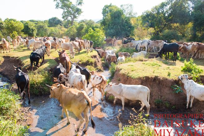 川を移動するマサイ族の牛