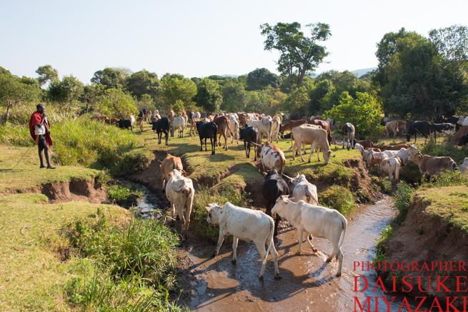川を歩くマサイ族の牛
