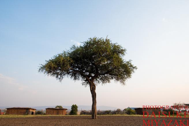 マサイ族の村に生えている木