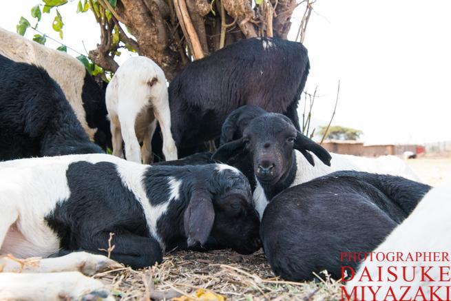 羊の赤ちゃんたち