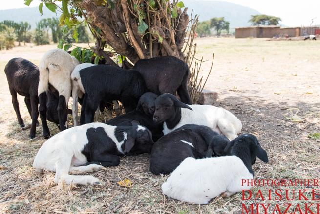 羊の赤ちゃんの群れ