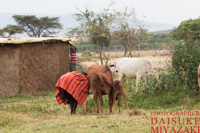 乳絞りするマサイ族の女性