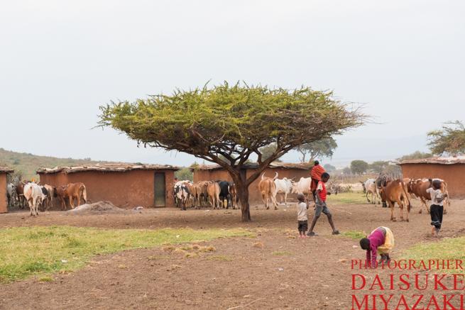 マサイ村に牛が帰ってきた