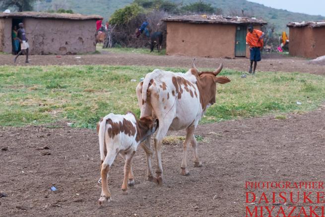 歩きながら乳を飲む仔牛