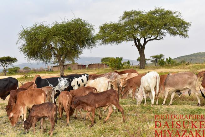 マサイ族の牛たち