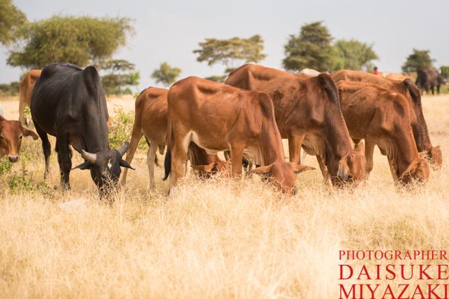 マサイ族の牛が草を食べている