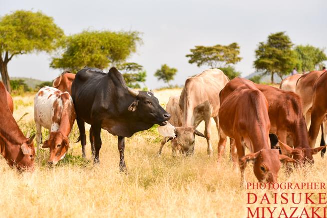 マサイ族の牛を放牧させる