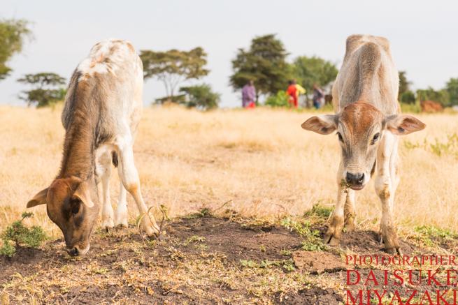 マサイ族の仔牛