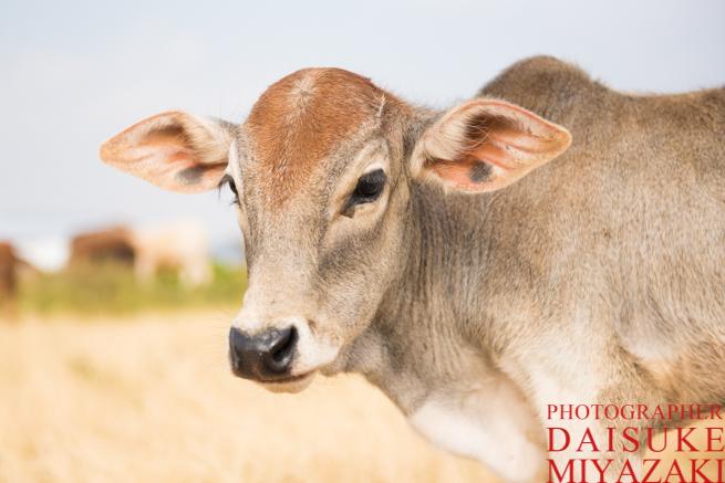 マサイ族の仔牛のアップ