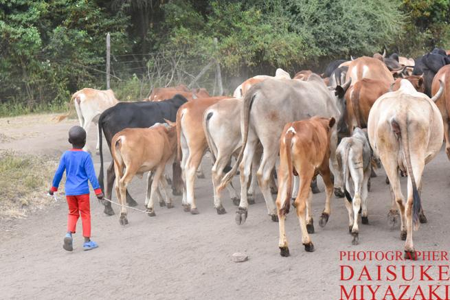 マサイ族の幼児が牛を放牧させている