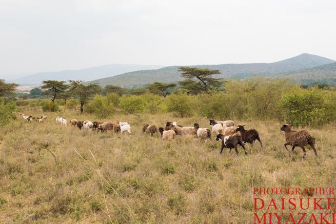 マサイ村の羊とヤギの放牧