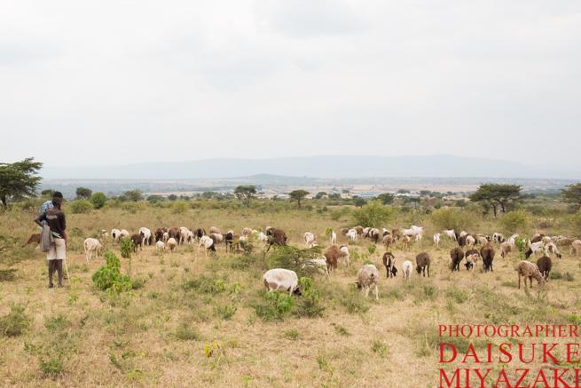 マサイ村の羊とヤギ