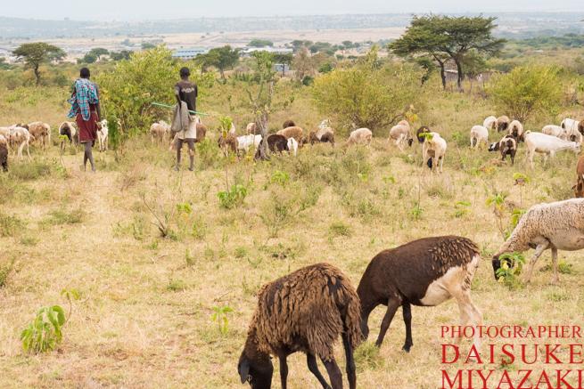 マサイ族と家畜たち