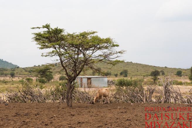 マサイ村の牛を守る柵