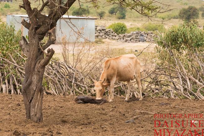 マサイ村の仔牛と母牛