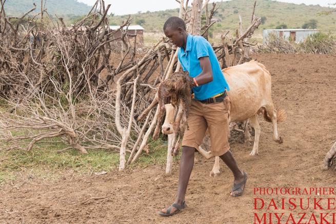 仔牛を運びだすマサイ少年