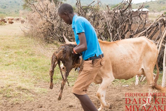 マサイ村の仔牛を運ぶ少年と母牛