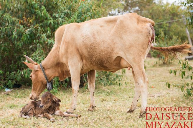 マサイ村の仔牛を舐める母牛