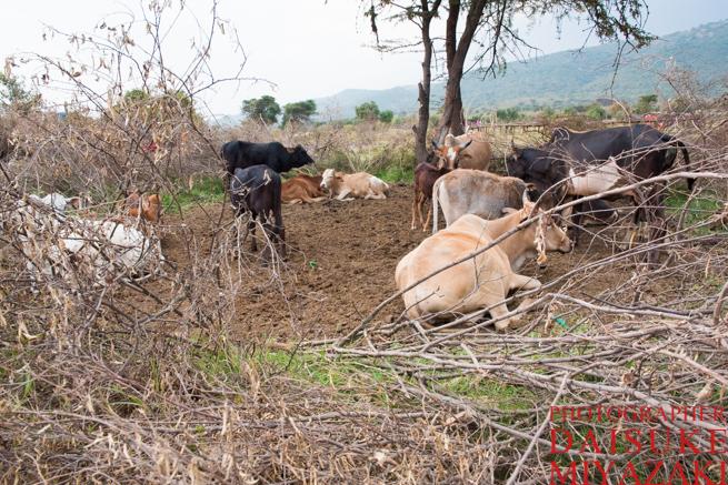 マサイ村の牛を守る囲い