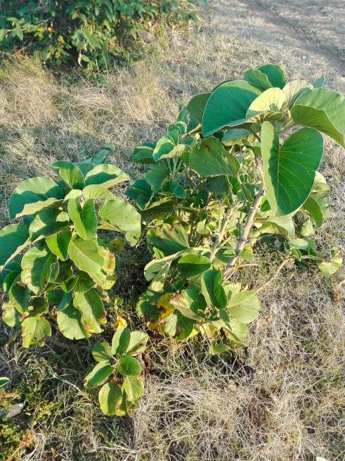 マサイ村のお尻を拭ける葉