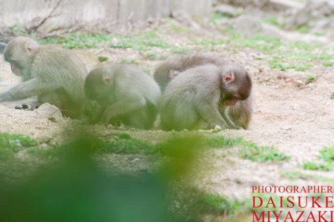 茂みからの猿