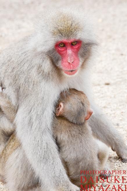 母猿の群れにうずくるまる猿の赤ちゃん
