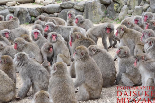 サルの群れ