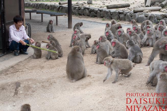 サルの群れを操るおばちゃん