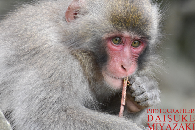 お猿の国の子ザル