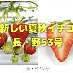 夏いちごに新品種「長・野53号」が誕生!四季成り性イチゴサマープリンセスを品種改良した収量が多い苺
