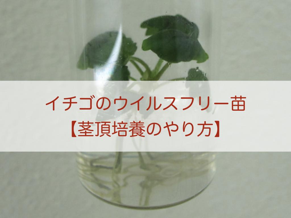 いちごの茎頂培養のやり方とウイルスフリー苗を作る方法