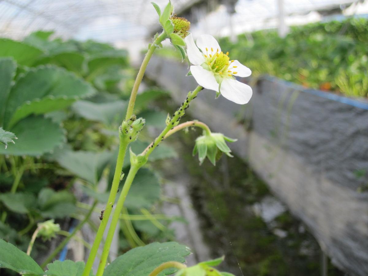 イチゴに実がならない花が咲かないときの原因対策と改善方法