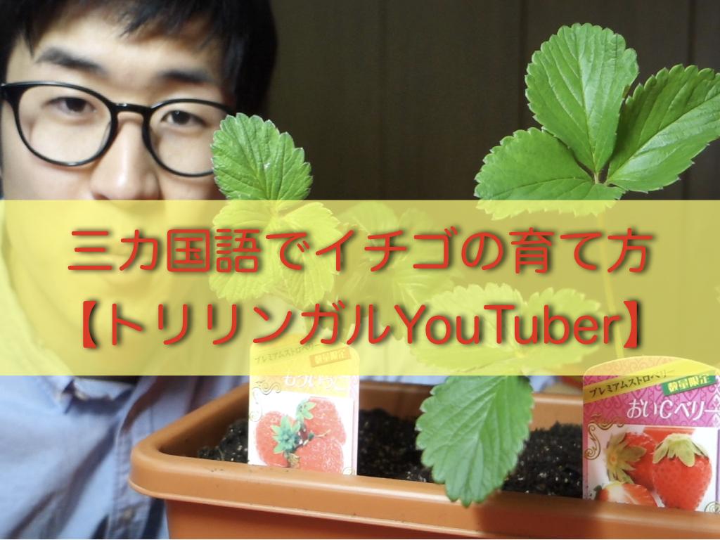 家庭菜園向けのイチゴの育て方を英語とスペイン語で解説【日本人トリリンガルYoutuber】