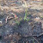 中南米の降水に依存した焼畑農業の共同作業(フンタ)に参加し伝統的な焼畑農法を学んだ