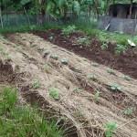 青年海外協力隊になり一年!ついに野菜を育てない野菜栽培隊員になれた。