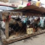 中南米パナマで人気の鶏肉×伝統的な薬草=ハーブ鶏で村おこし