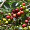 ゲイシャコーヒーを育てる中米パナマ・ボケテ高原のレリダ農園の生産・加工・輸入・テイスティング方法